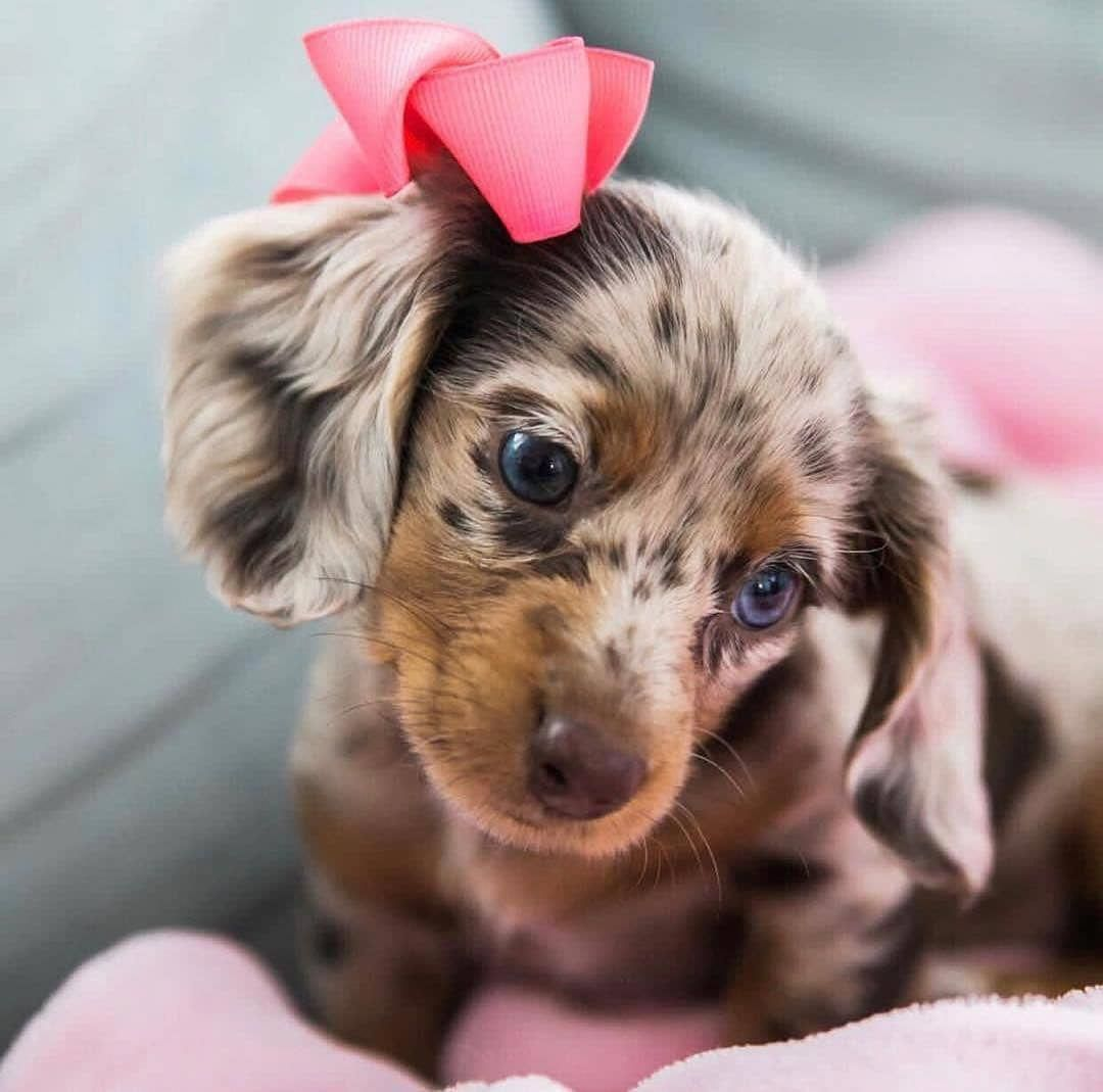 Everything About The Lively Dachshund Grooming Dachshundoftheday