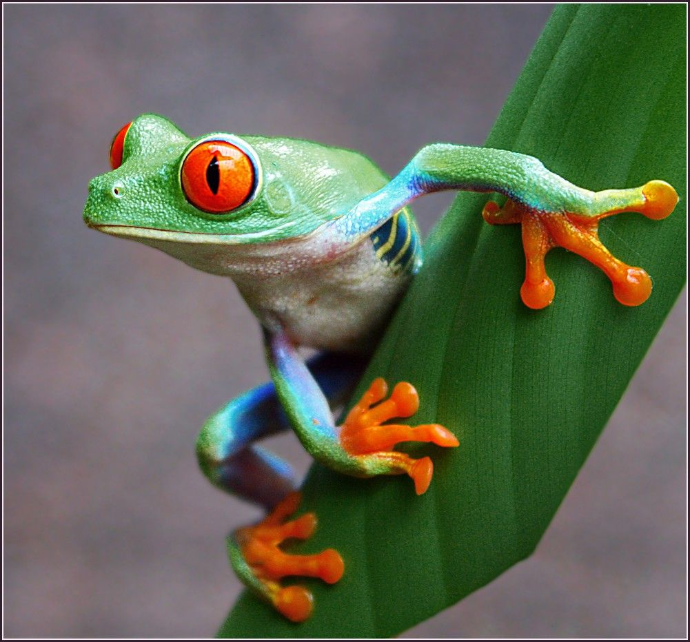 I actually held a Red-Eyed Tree Frog in Costa Rica! Very tiny | Tree ...