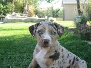 Florida Cracker Cur Bing Images Catahoula Leopard Dog