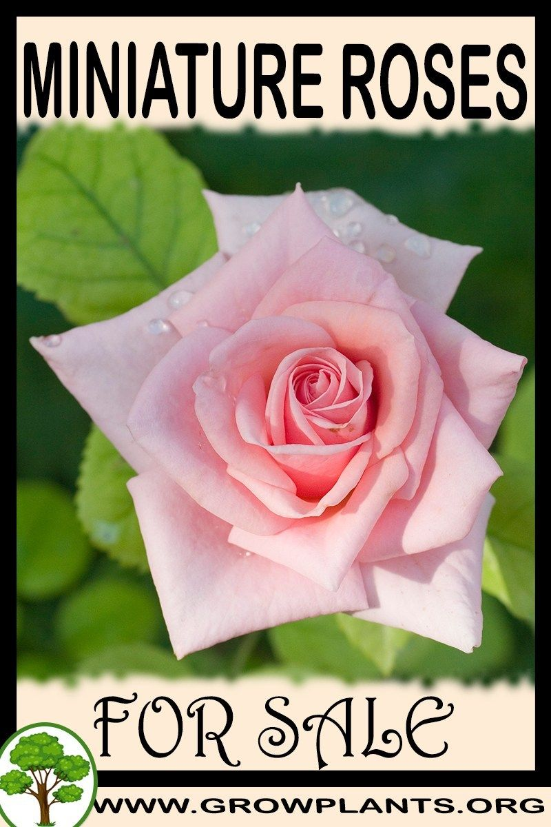 Miniature roses for sale Plants, Easy plants to grow