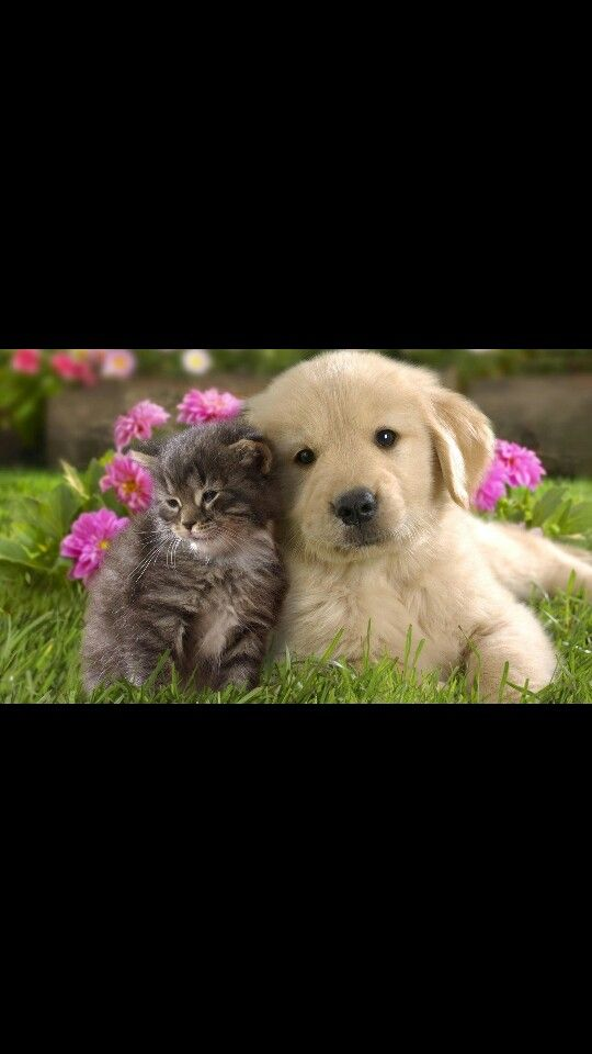 Best Friends Cute Cats And Dogs Kittens And Puppies Golden Retriever