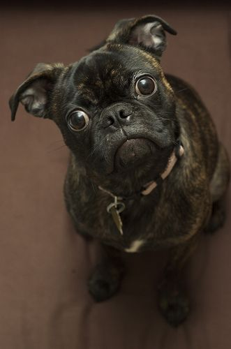A Bugg Cross Between A Pug Boston Terrier Every One Looks