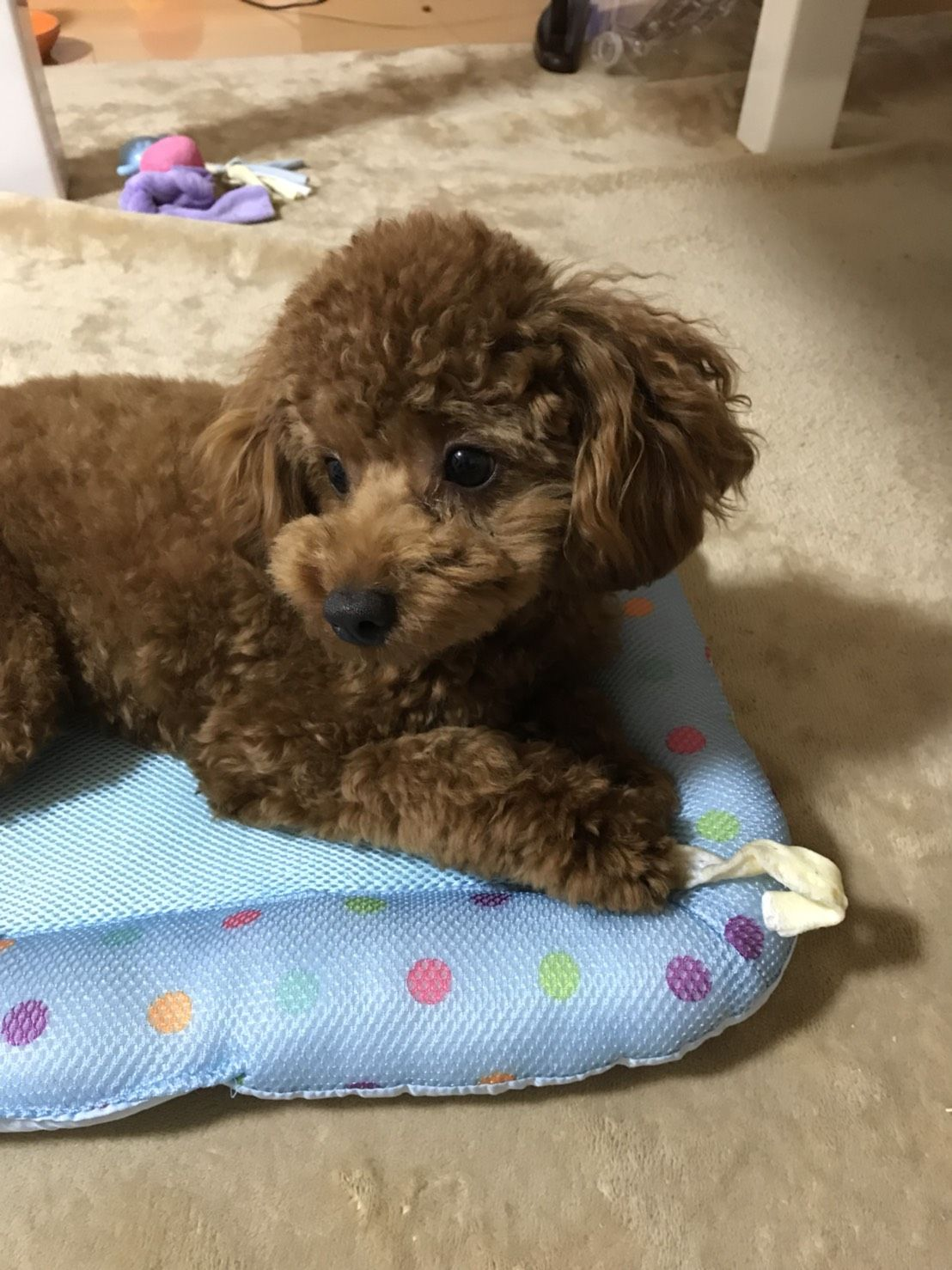 Pin By Terri Borkgren On Poodle 5 Toy Poodle Poodle
