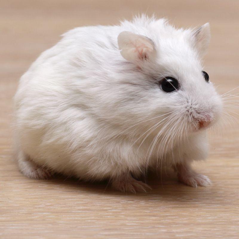 All About Syrian Teddy Bear Hamster Bear Hamster Cute