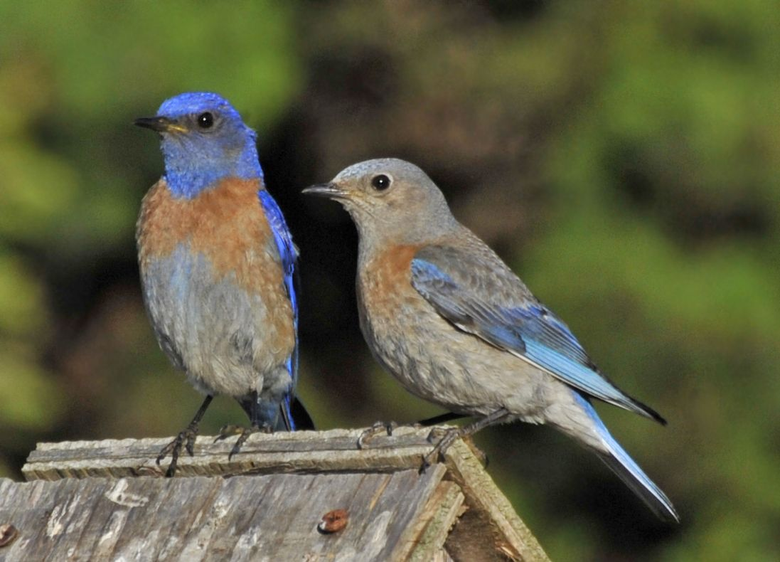Western Bluebirds Are A Joy To Watch Blue Bird Pet Birds Birds