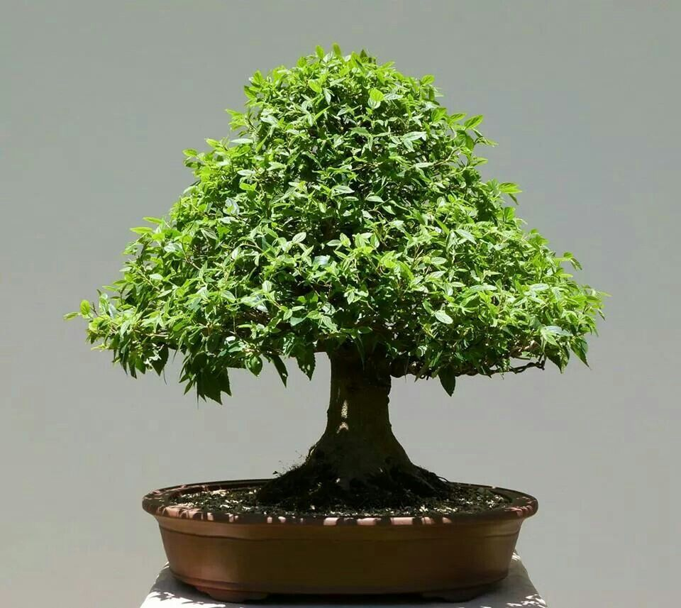 Image result for Broom bonsai