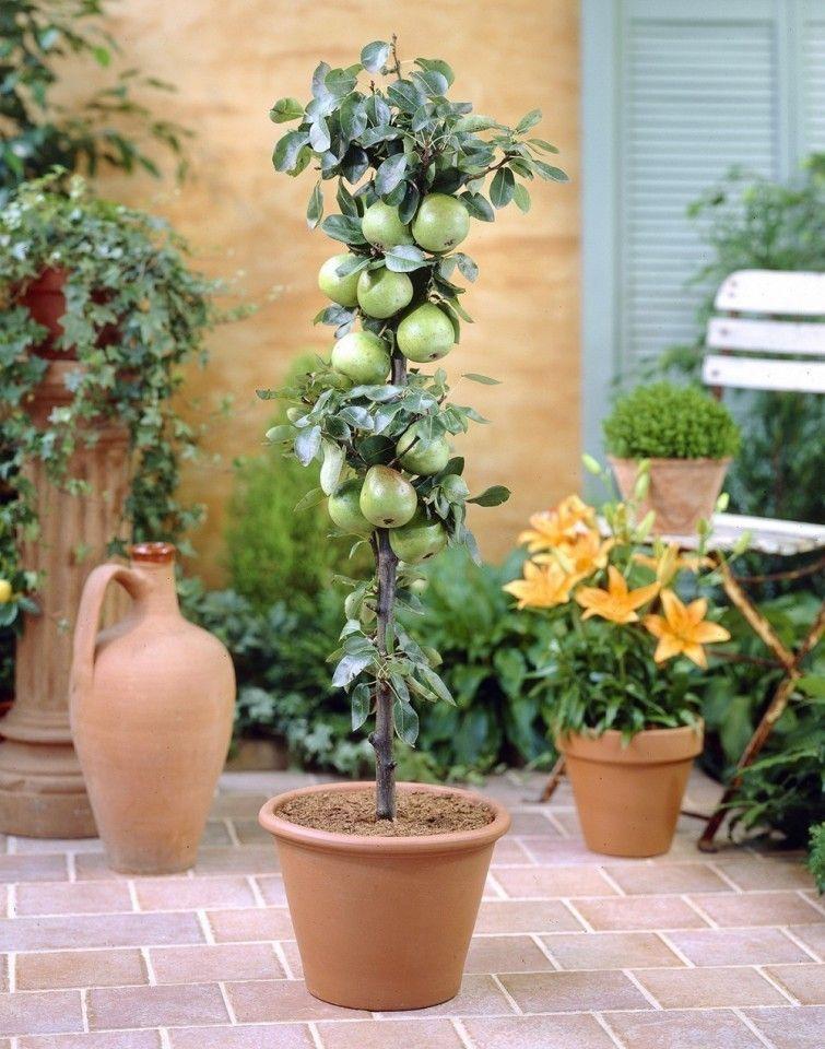 cómo cultivar frutales en columnas en patios o balcones | columnas