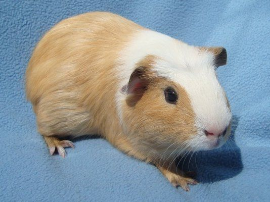 Pin On Guinea Pig And Stuff