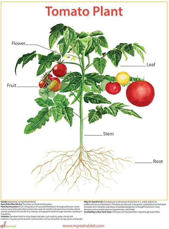 Image result for botanical paintings of tomatoes botany image result for botanical paintings of tomatoes ccuart Image collections