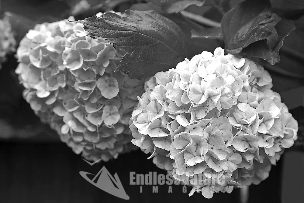 Snowball flowers hanging over the fence photographed in my backyard before my neighbor cut the plant down! Ghosts from the past.