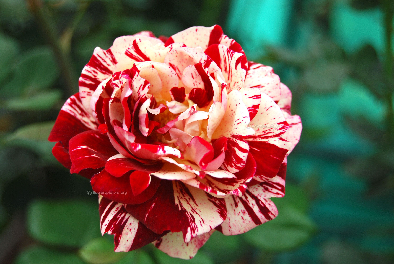 36 rose flower wallpaper hd download wonderful image