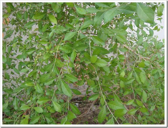 Henna Lawsonia Inermis Or Mehandi Herb Uses Information In