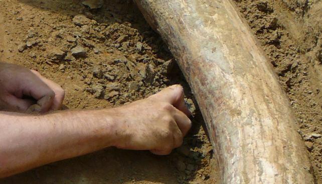 Encuentran en Austria los gigantescos colmillos de una rara especie de mamut…
