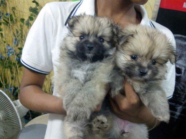 Pomeranian Puppies Price In Kolkata Zoe Fans Blog Cute Baby