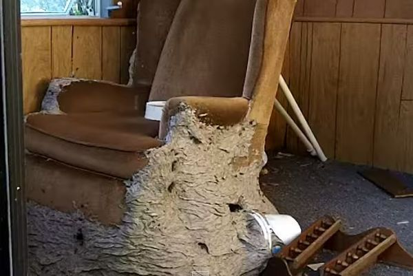 Terrifyingly Huge Wasp Nest Consumes A Chair Wasp Nest Wasp Honey Bee Removal