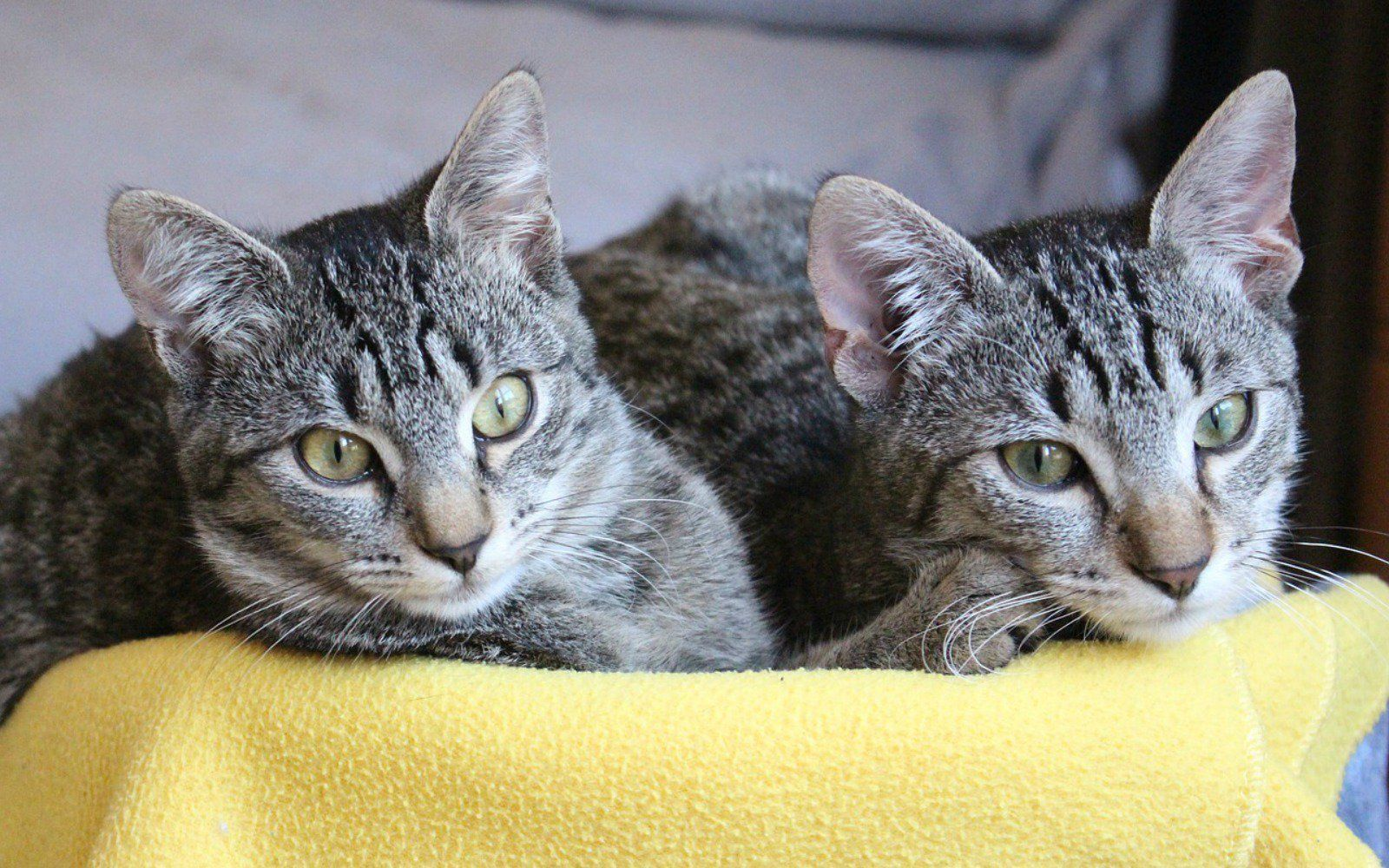 Does Your Cat Need a Friend? Benefits of Adopting a Second