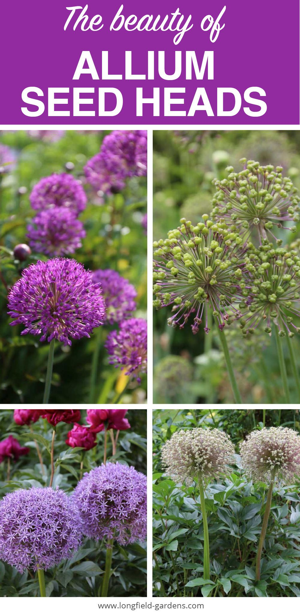 Another Reason To Love Ornamental Alliums Seed Heads Longfield Gardens Longfield Gardens Allium Flowers Amazing Gardens