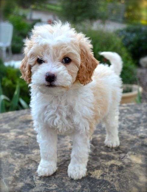 Pin By Mabel Pellicani On Puppy Love Labradoodle Cute Animals
