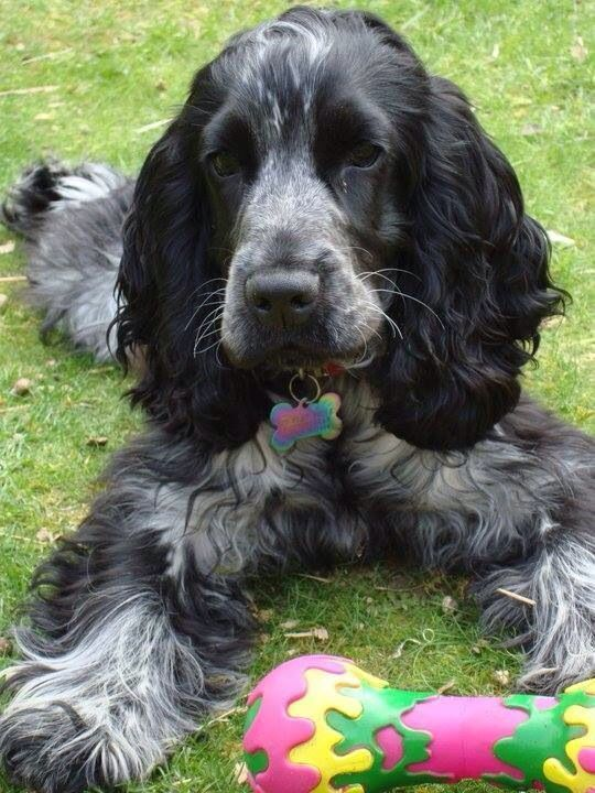 English Cocker Spaniel Cocker Spaniel Dog Dogs Dogs And Puppies