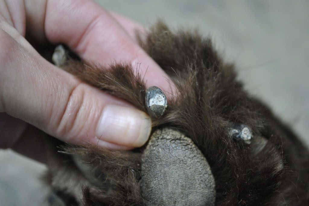 How to safely trim your dogs black nails dog nails