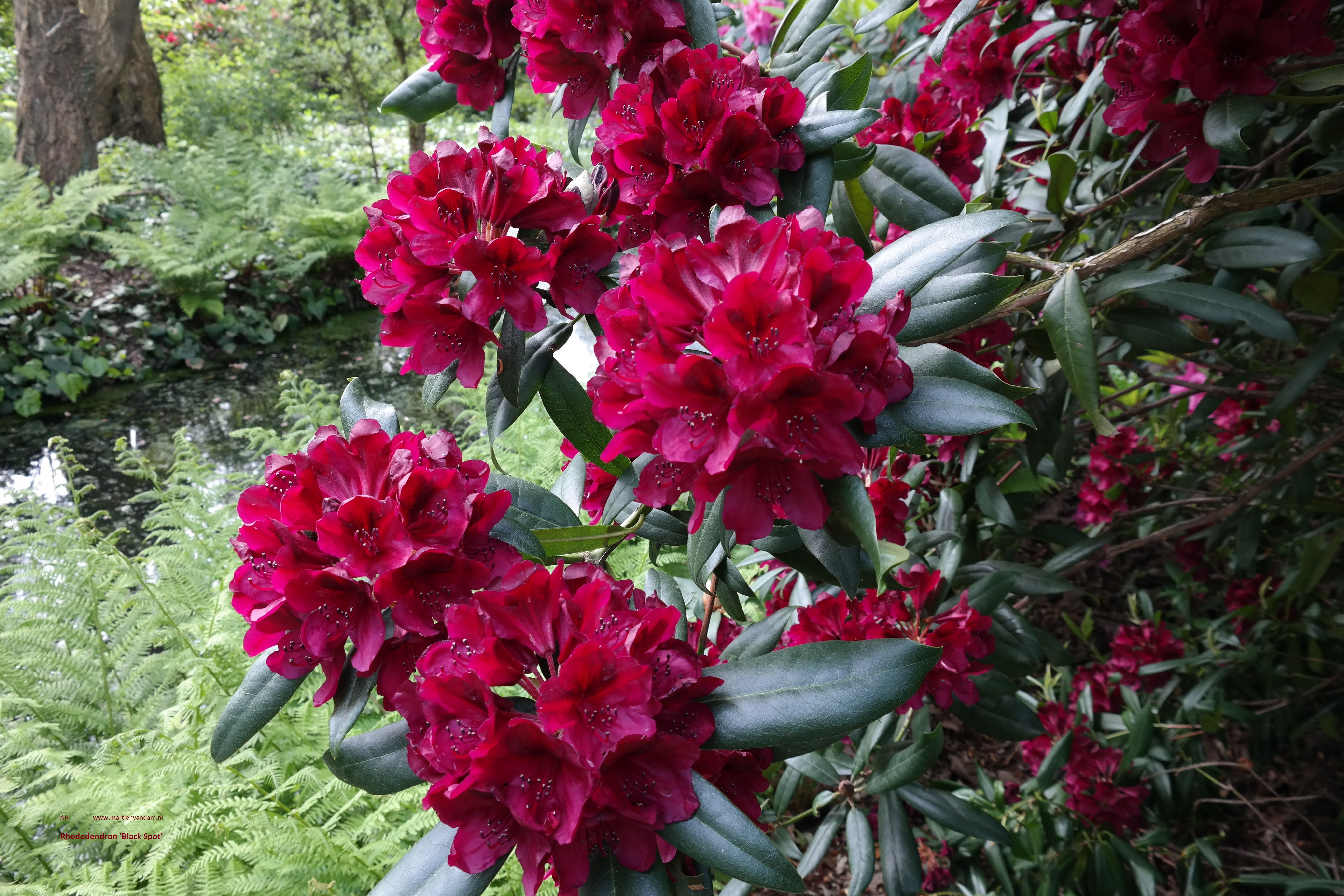 Rhododendron Black Spot With Images Rare Flowers Orchids