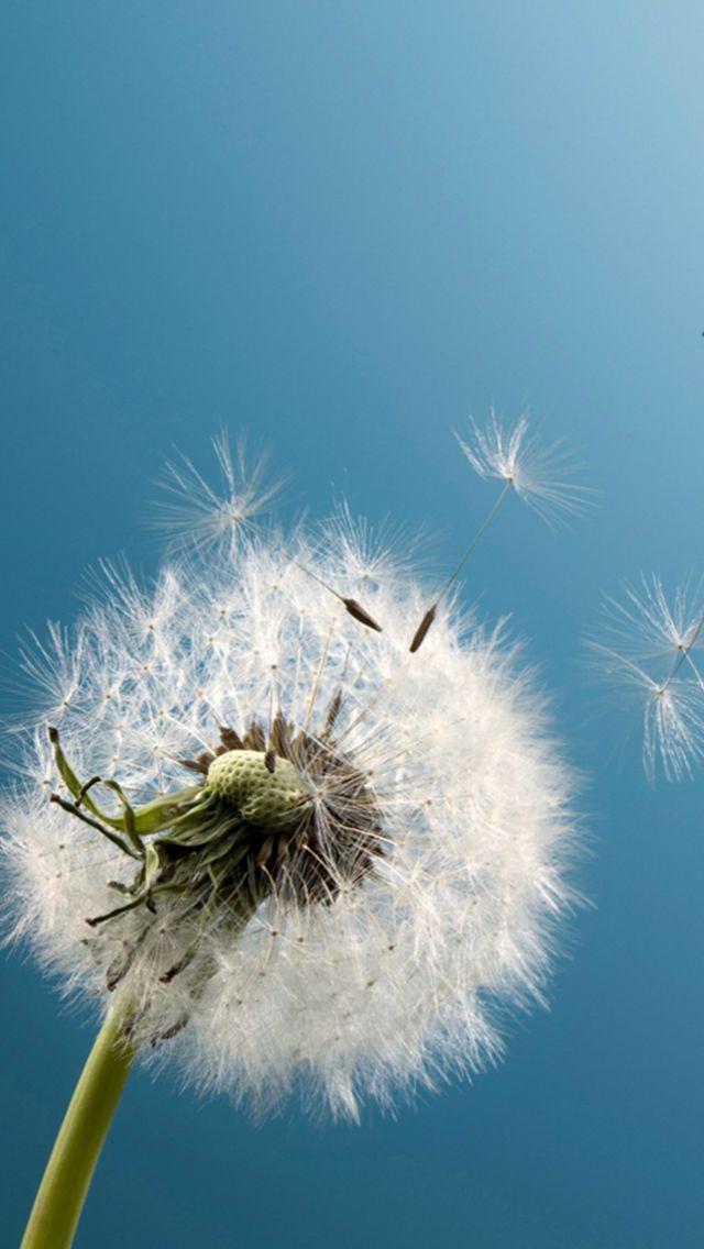 Pure Blue Sky Wish Blow Dandelion Flower Macro  iPhone  5s  wallpaper 8078ed645ccaf