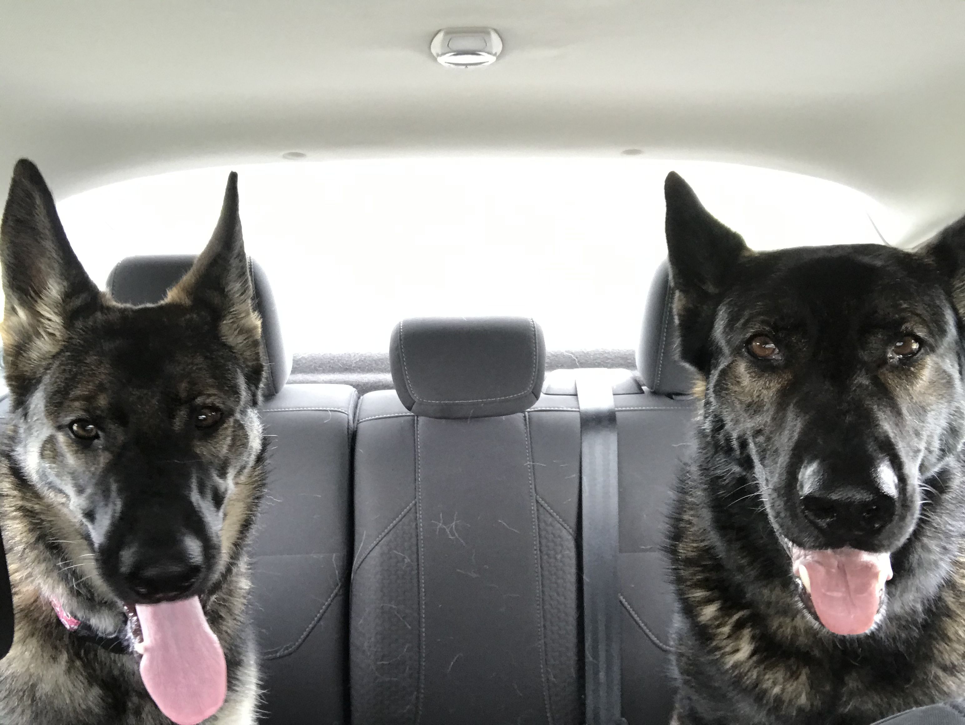 Please Daddy, drive carefully in 2020 German shepherd