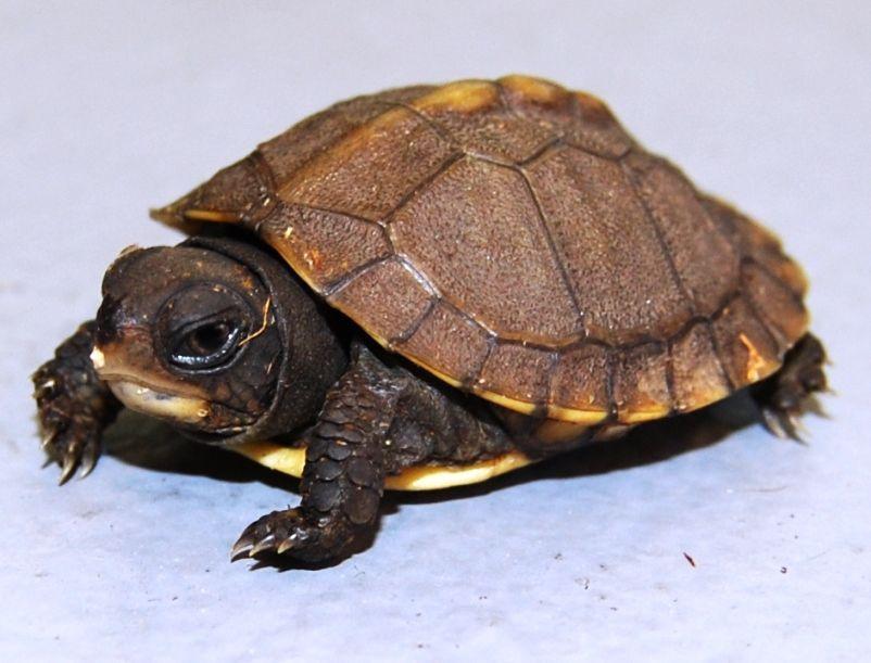 Baby Three toed Box Turtle. Tortoise care, Turtle care