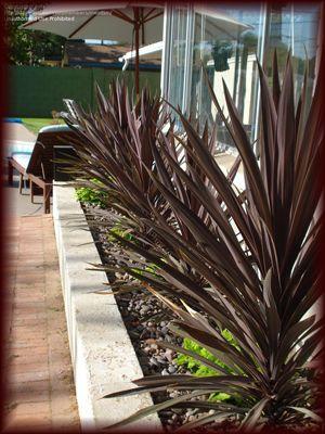 A Chocolate Garden Architectural Plants Purple Plants Screen Plants