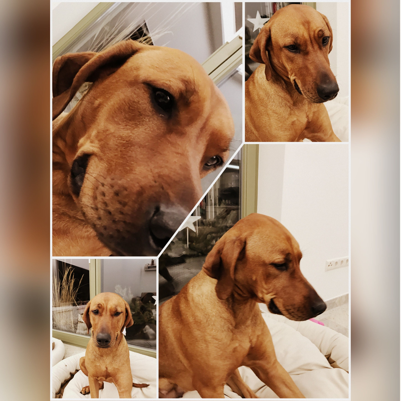 Top Rhodesian Ridgeback Brown Adorable Dog - e5d3acbc27c3f993d1373fd30f91a4e4  2018_396660  .jpg