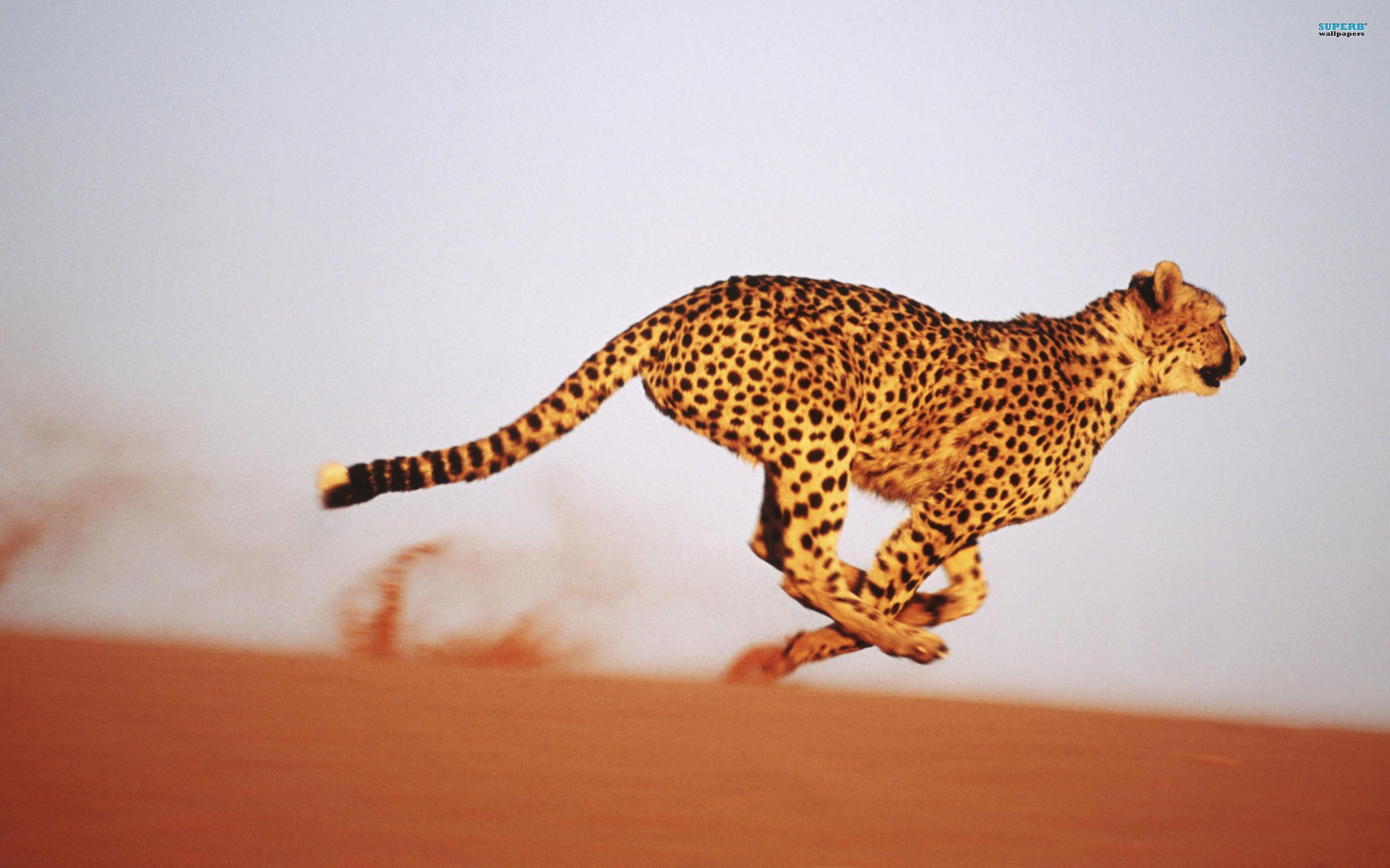 Animals Running Wallpapers Hd In 2020 Animals Cheetah Animal