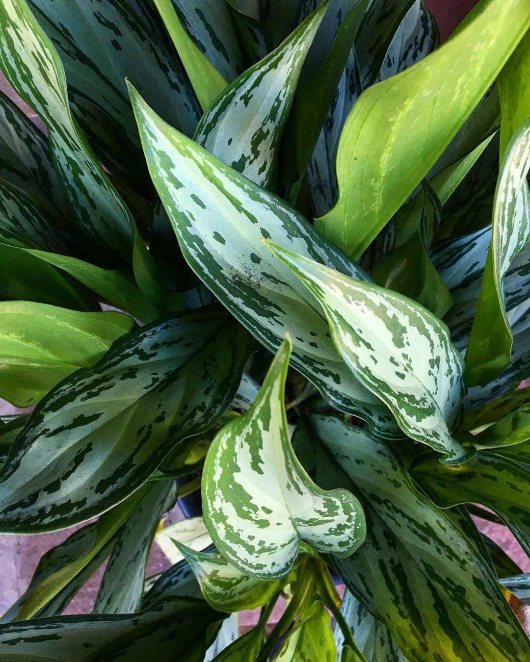 """Floricultura Celeiro da Flor 🌻 on Instagram: """"🌿AGLAONEMA SILVER KING🌿  Essa planta é PERFEITA para decoração de interiores. No entanto necessitam de boa ventilação e não suportam…"""""""