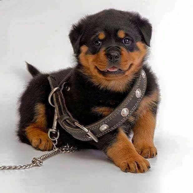 #Rottweiler #cute #pups