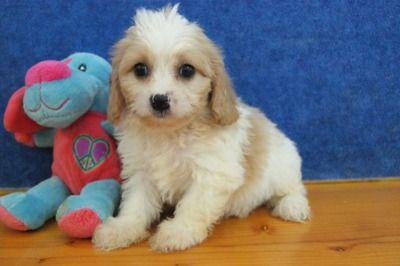 Chilton Wi Usa Adorable Cavachon Puppies Cavachon Puppies Cavachon Puppies