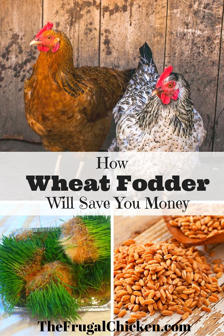 growing fodder for chickens means healthier hens hens coops and