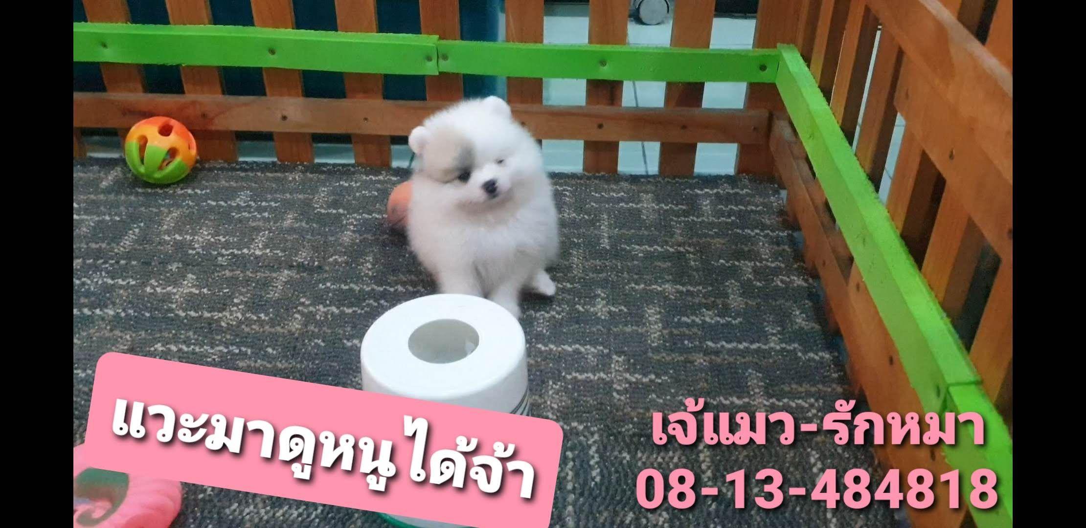 ขายหมาภ เก ต Pomeranian ปอมเมอร เรเน ยน ภ เก ต Teacup ช วาว า ปอม 08 13 484818 เจ แมว ร กหมา ส น ข ช ส ฮ สก