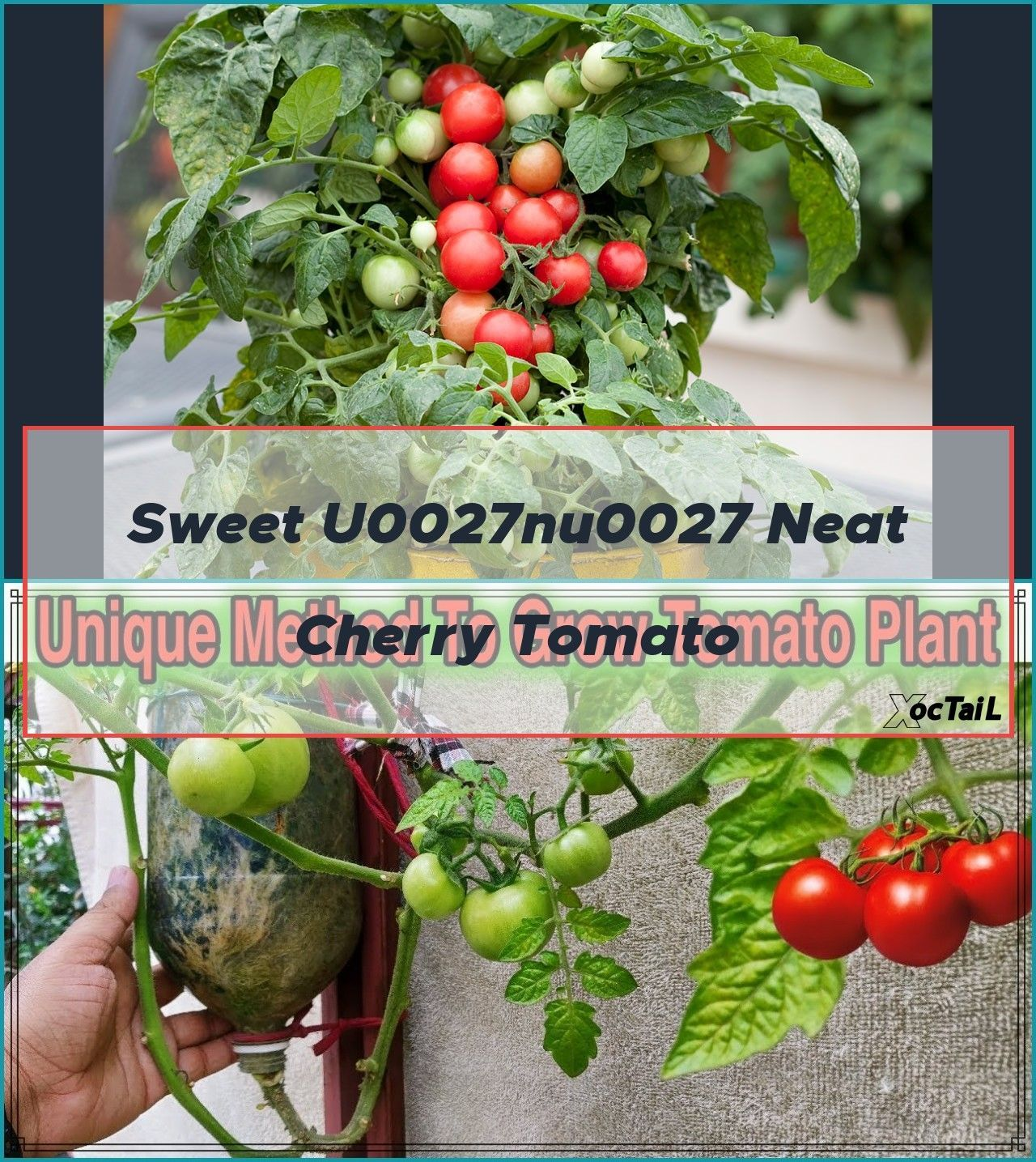 Best Method To Grow Tomato Plant In Plastic Hanging Bottle In 2020 Growing Tomatoes Cherry Tomato Plant Tomato