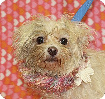 Jackson Mi Shih Tzu Mix Meet Zena A Dog For Adoption Shih Tzu Shih Tzu Mix Pets