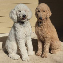 How Old Should The Puppy Be For Her 1st Trim Poodle Forum