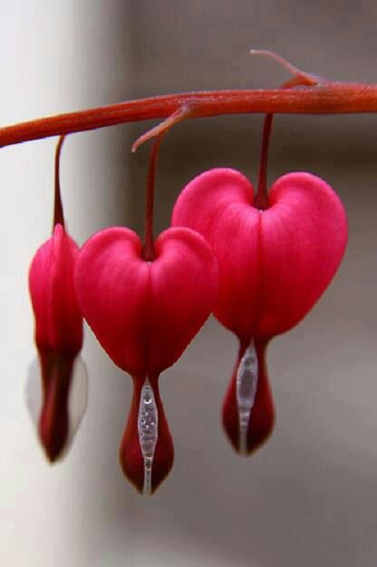 Bleeding Heart Plant Is A Native Of The Asian Continent And The Other Name Is Dicentra Spectabilis This Beautiful Flowers Bleeding Heart Bleeding Heart Flower
