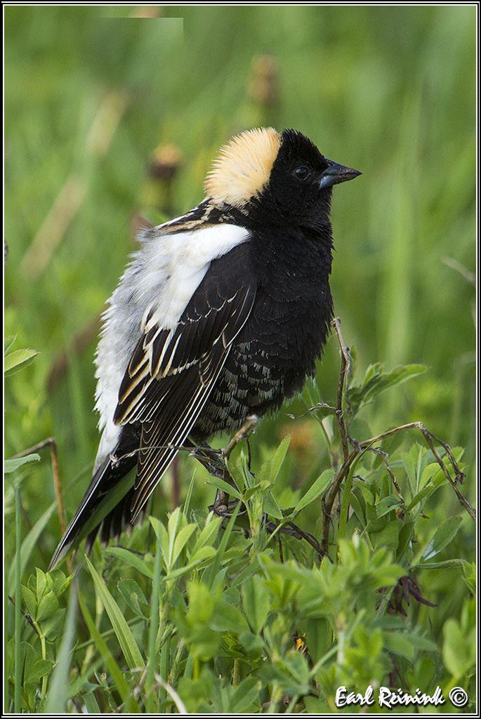 Bobolink Black Birds Pet Birds Birds Bird Girl