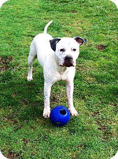 Battle Ground Wa American Staffordshire Terrier Blue Heeler Mix