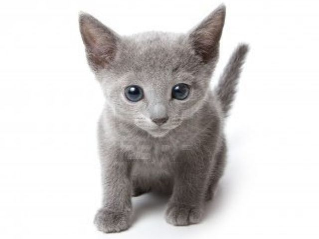 What Kind Of Cat Breed Are You Russian Blue Kitten Russian Blue Russian Blue Cat