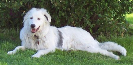 Border Collie Pyrenees Dog Breed Information And Pictures Great