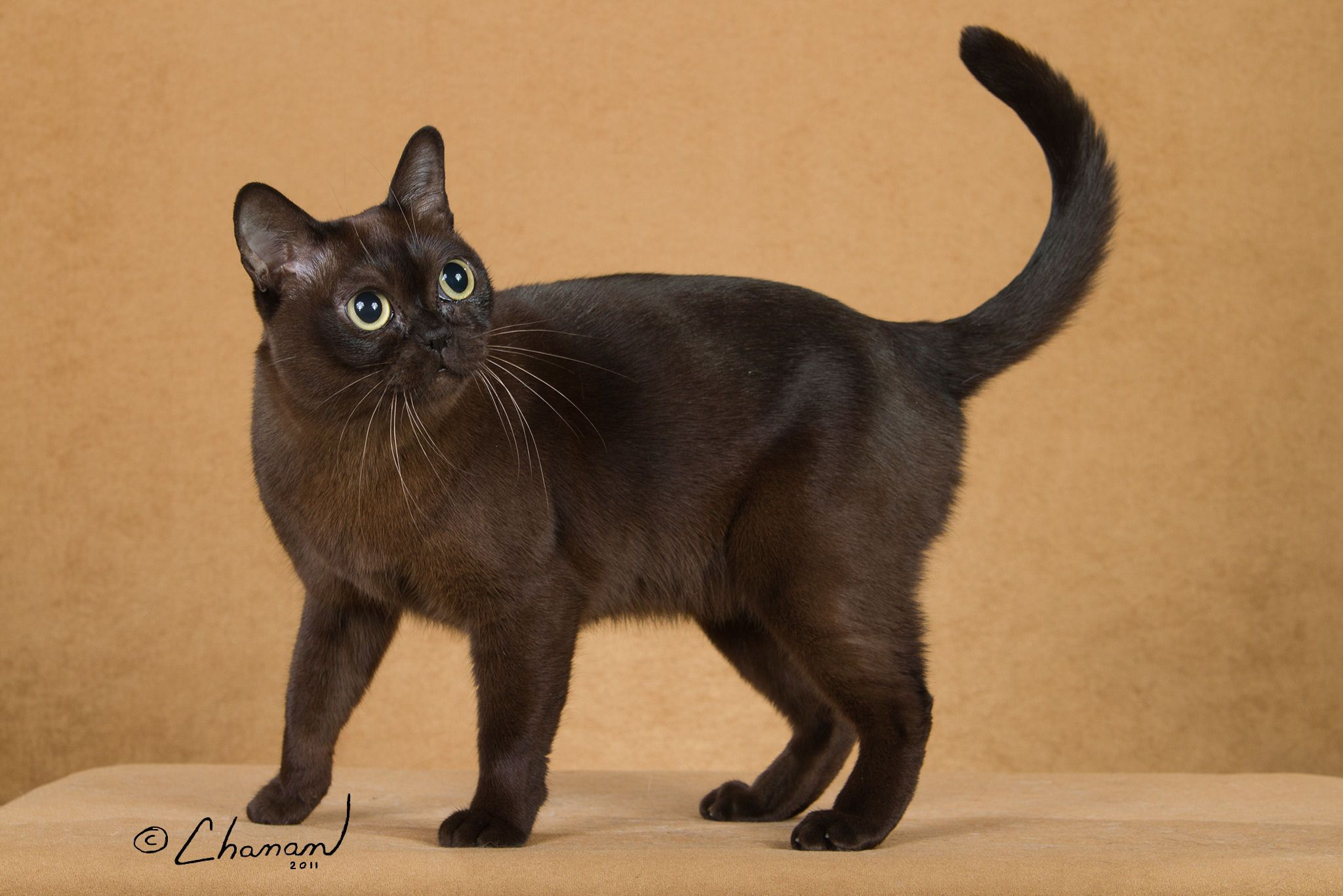 13 Smartest Cat Breed In The World Cat facts, Cat breeds