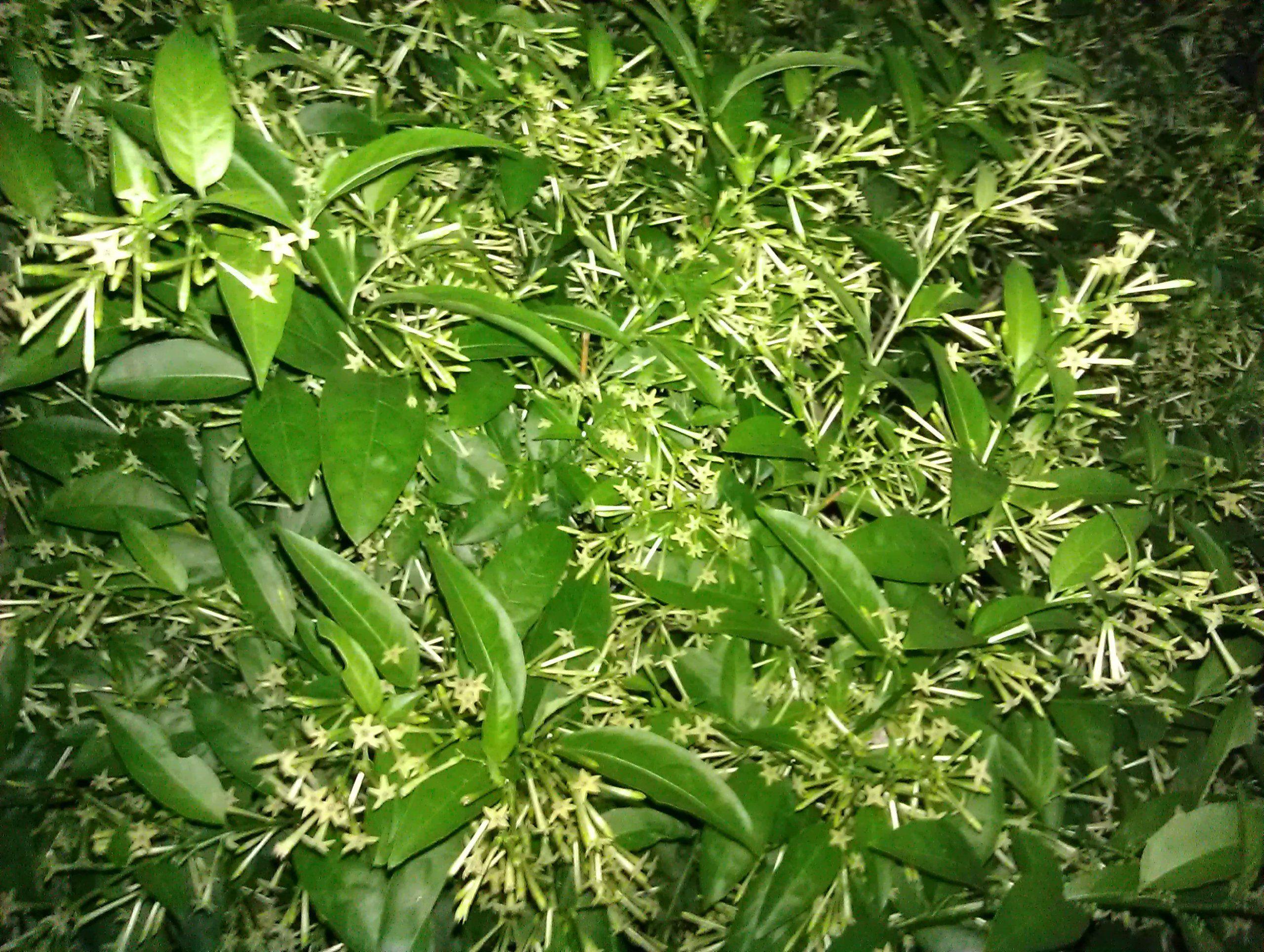 Amazon night blooming jasmine plant cestrum nocturnum 4 amazon night blooming jasmine plant cestrum nocturnum 4 pot house plants patio lawn garden izmirmasajfo