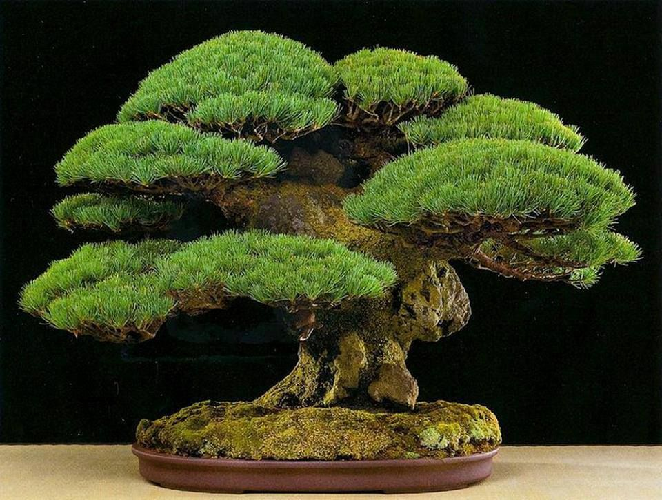 Bonsai art bonsai minigarten pinterest pflanzen for Bonsai pflanzen