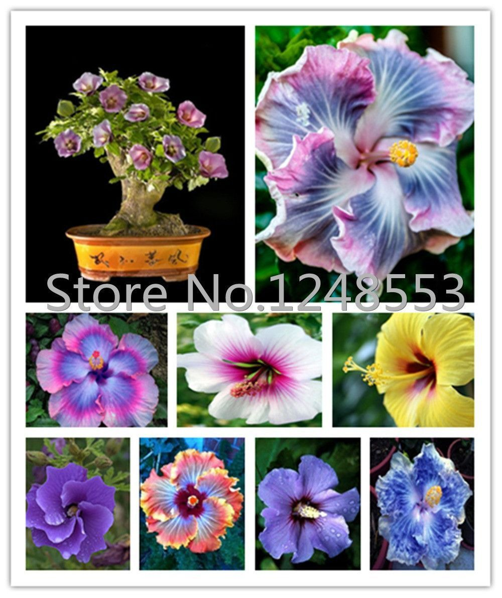 On sale 200pcs hibiscus seeds 24kinds hibiscus rosa sinensis on sale 200pcs hibiscus seeds 24kinds hibiscus rosa sinensis flower seeds hibiscus tree seeds for flower potted plants izmirmasajfo