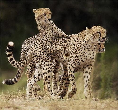 Cheetahs by Bert.