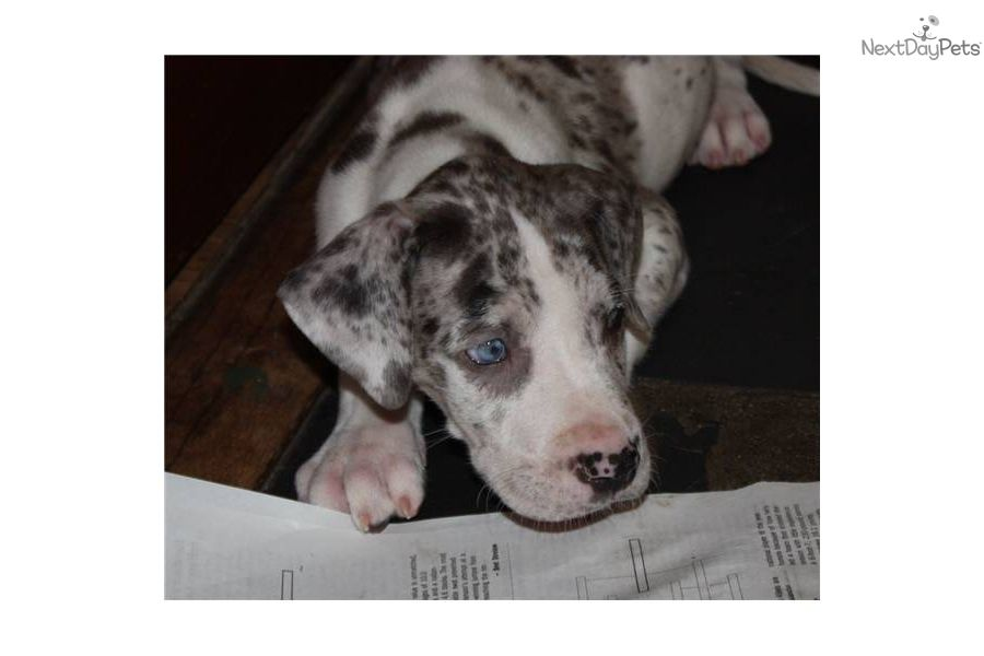 Great Dane for sale for 1,250, near p class